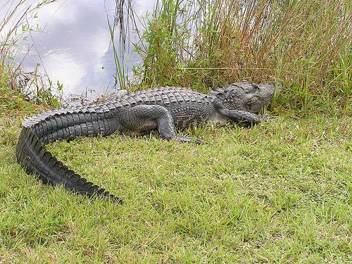 everglades-cocodrilo.jpg