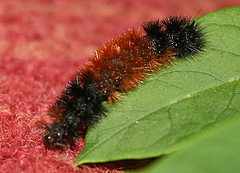 wolly-worm-festival-caterpillar.jpg